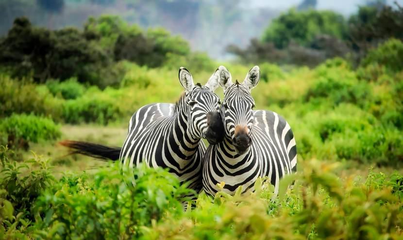 Cristina Fazzi vive nello Zambia: due zebre